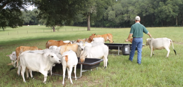 Why Mini Cows Are Perfect For The Small Homestead