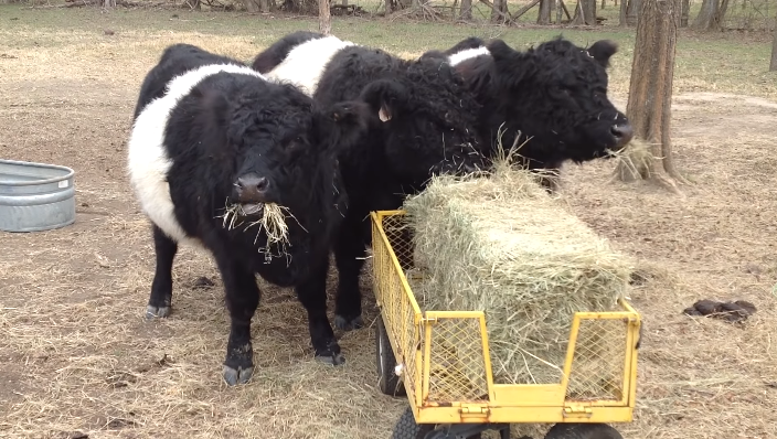mini belted galloway cow breed