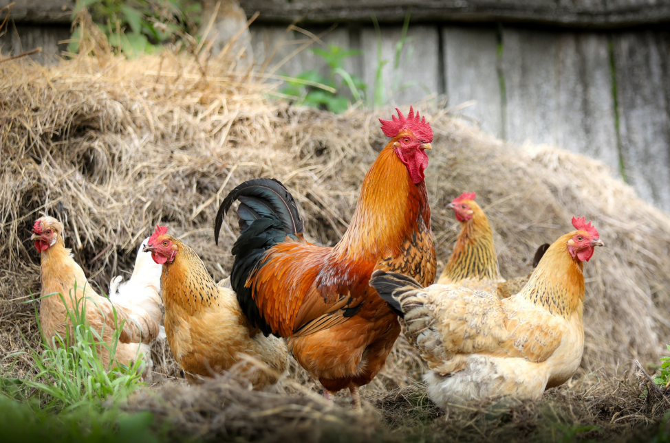 best chickens for meat and eggs
